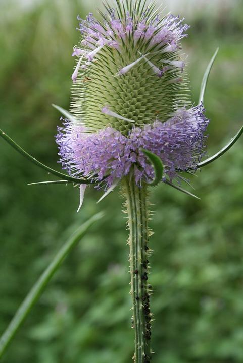 thistle-flower-243255_960_720